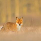 Lis, Red Fox (Vulpes vulpes) ...