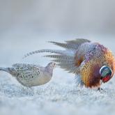 Zaloty ... Bażant, Common Pheasant (Phasianus colchicus) ... 2021r