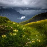 Żółto kwitnące mikołajki na alpejskiej łące.