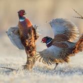 Siła perswazji  ... Bażant, Common Pheasant (Phasianus colchicus) ... 2021r
