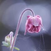 Różowy orlik