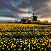 Czas tulipanów.