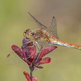 Szablak zwyczajny (Sympetrum vulgatum) - samica