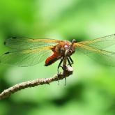 Ważka ruda - Libellula fulvaX - samiczka