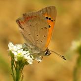 Czerwończyk żarek (Lycaena phlaeas)